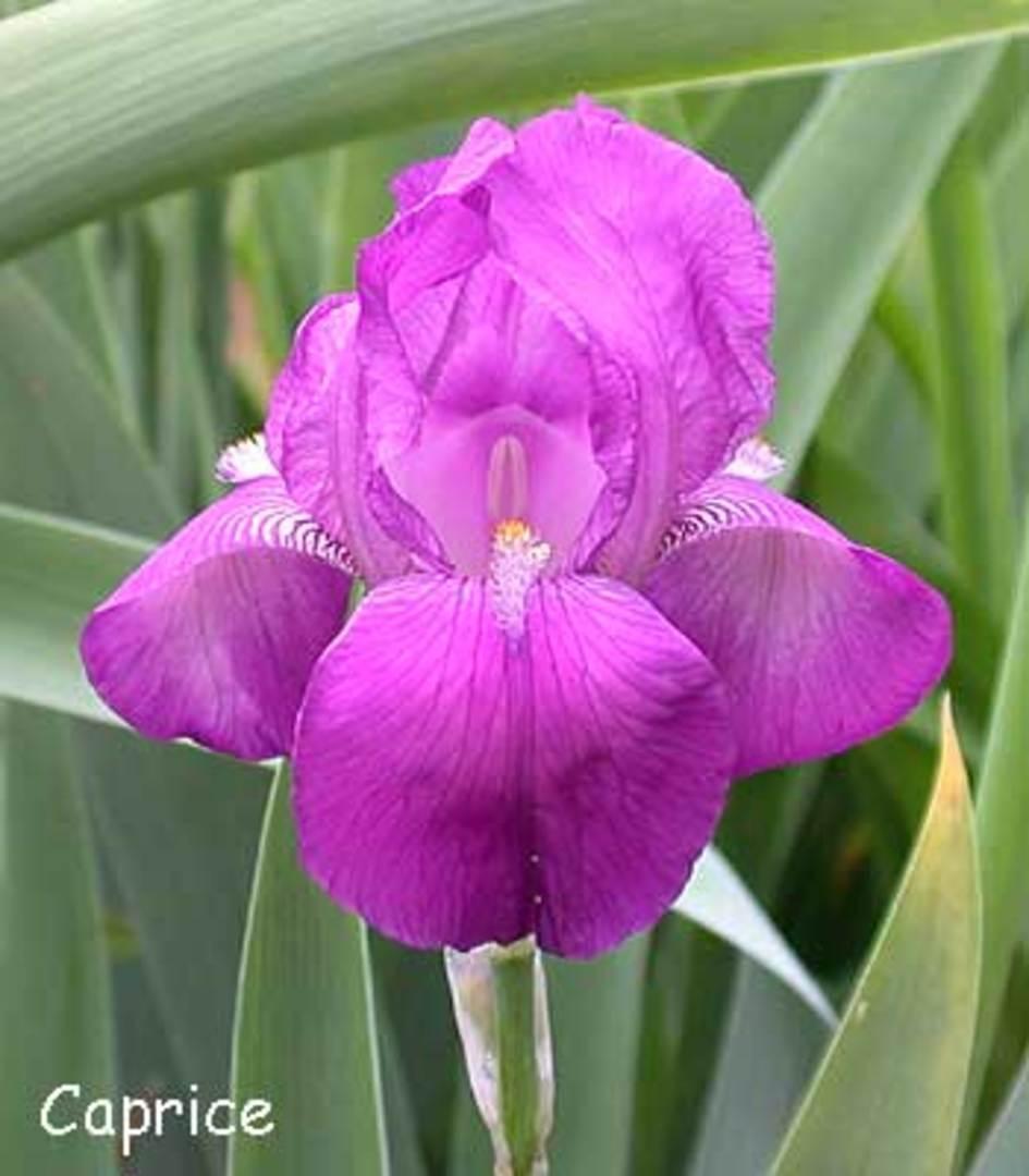 Prescott area iris society sharlot hall museum historic iris gardens caprice 1898 izmirmasajfo